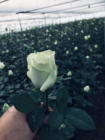 Rose greenhouse