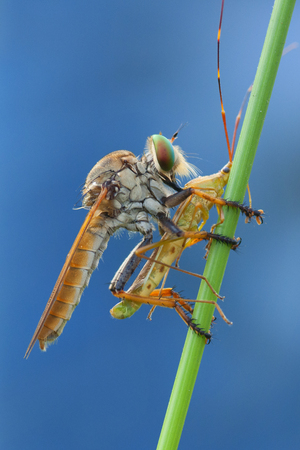 macro shot of robber fly with an insect on a stick