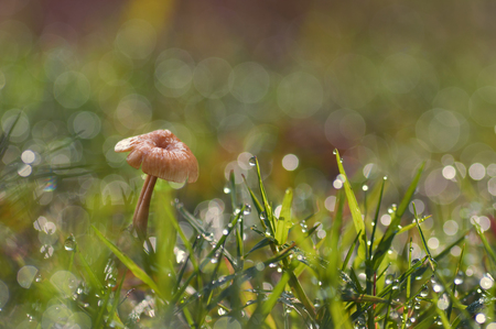 mycelium: mushrooms in the grass with dew and bokeh background Stock Photo