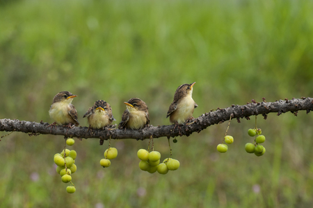 four cisticola birds in the bad mood sitting on dry twigs of phyllanthus acidus