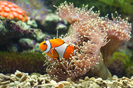 close up of clown fish and soft corals darting amongst the stinging tentacles of the sea anemone Stock Photo