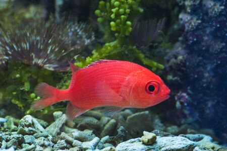 hepatus: macro close up of red squirrel fish, dwarf squirrelfish, sargocentron Stock Photo