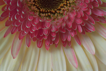 Macro close up of pink chrysanthemum flower in detail