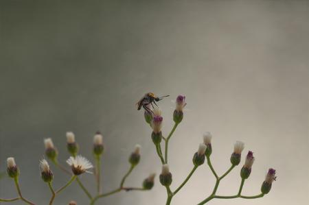 jorobado: Primer macro Jorobado Mosca de abeja, Lepidophora lutea se sienta en una flor silvestre Foto de archivo