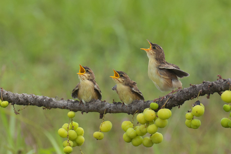 Three infant cisticola birds sitting on dry twigs of phyllanthus acidus waiting for the feed Stock Photo