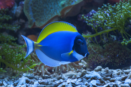 tang: macro close up of powder blue tang fish, acanthurus leucosternon Stock Photo