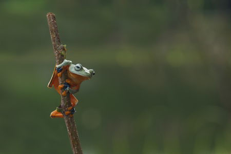 macro closeup of green forest tree frog hanging on a branch Stock Photo