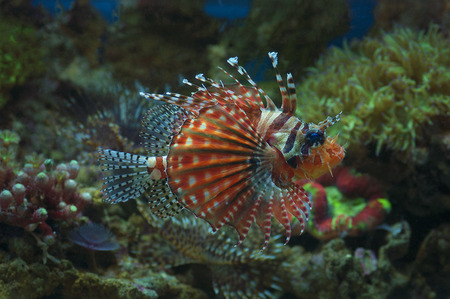 macro close up of lion fish, pterois