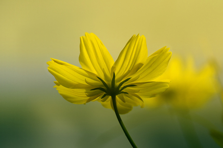 macro closeup of  yellow cosmos flower with bokeh background