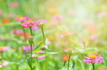 pink zinnia flowers field / Spring flower pink zinnia blossoming on nature green background Banque d'images
