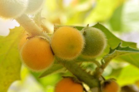 fresh eggplant hairy fruit on plant  solanum ferox or hairy fruited eggplant yellow on tree nature background