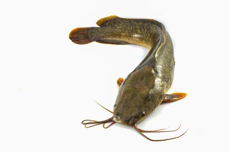 Poisson-chat isolé / poisson-chat cru frais isoler sur fond blanc - Poisson d'eau douce close up poisson-chat canal Banque d'images