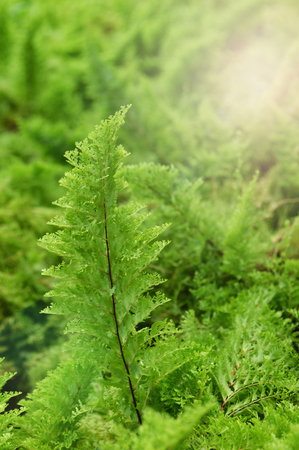 green fern background / detail of nature view green leaf fern in rain forest