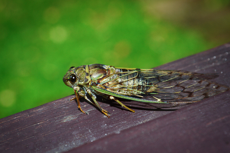 Cicada Bug , Cicada insect on wood on Green background. 스톡 콘텐츠