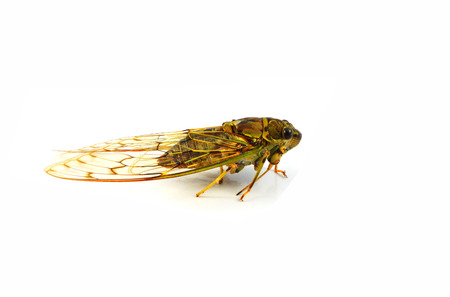 cicada isolated / wild insect cicada isolated on white background