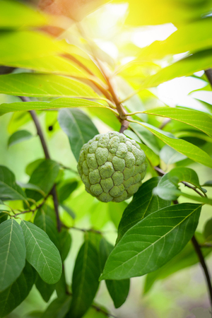 Sugar Apple on tree / fresh of sugar apple tropical fruit on tree in the garden fruit - custard apple on plant tree nature green background