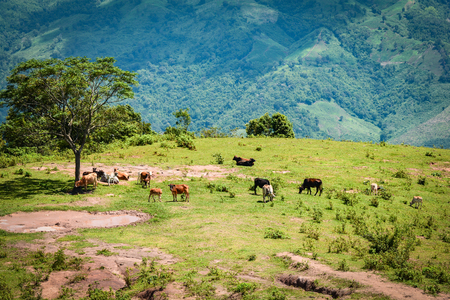 cow mountain / landscape cows grazing on hills meadow tree and mud pond on mountain in north of thailand asia Reklamní fotografie
