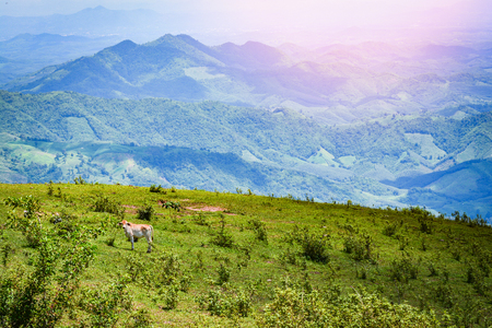 cow mountain  landscape cows grazing on hills meadow tree and mud pond on mountain in north of thailand asia