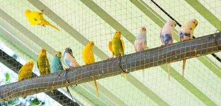 perroquet en cage / perruche bleue et jaune perroquet oiseau de compagnie - perruche perruche commune dans la cage dans la ferme aux oiseaux