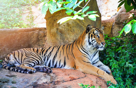 bengal tiger lying on the rock relax on summer day in the national park - male tiger or royal tiger