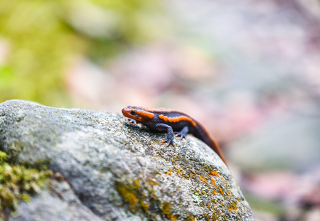 salamander on the rock / wildlife reptile crocodile salamander spotted orange and black rare animals on high mountain rainforest - other names salamander asia ,Tylototriton verrucosus , Himalayan newt Stock Photo