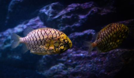 pineapple fish or cleidopus gloriamaris / underwater photography of pineapple fish yellow swimming marine life underwater ocean 版權商用圖片