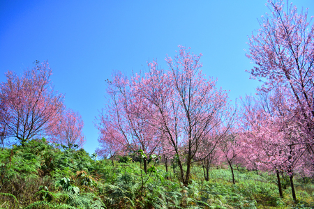 wild himalayan cherry blooming pink tree of cherry blossom or sakura flower - wild himalayan cherry blooming on hill in winter at Phu Lom Lo Loei and Phitsanulok of Thailand Stock Photo