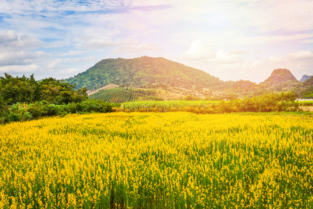 sunset landscape yellow field background / field of flowers and sunset nature sky hill background - Sunhemp field yellow or Crotalaria juncea plant