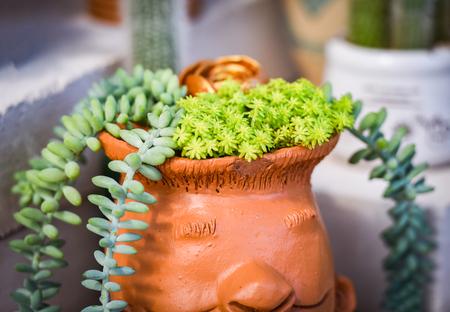 Sedum Nudum Aiton Cactus Miniature Succulent plant in pot decorate garden home Stock Photo
