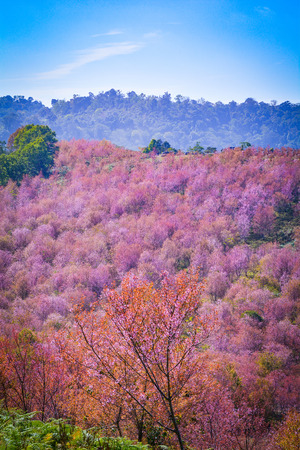 wild himalayan cherry bloomingpink tree of cherry blossom or sakura flower- landscape mountain hill of wild himalayan cherry blooming on hill in winter at Phu Lom Lo Loei and Phitsanulok of Thailand