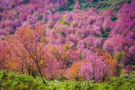 wild himalayan cherry blooming/pink tree of cherry blossom or sakura flower- landscape mountain hill of wild himalayan cherry blooming on hill in winter at Phu Lom Lo Loei and Phitsanulok of Thailand Stock fotó