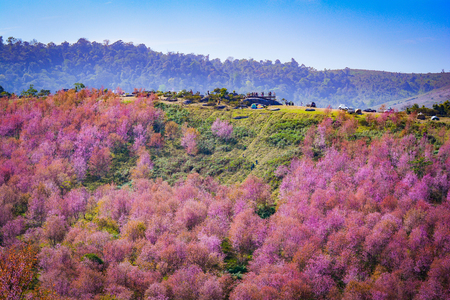 wild himalayan cherry blooming/pink tree of cherry blossom or sakura flower- landscape mountain hill of wild himalayan cherry blooming on hill in winter at Phu Lom Lo Loei and Phitsanulok of Thailand