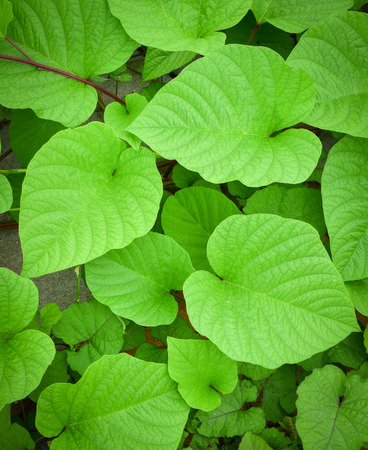 Green leaves of Heart shaped / beautiful plant vine background