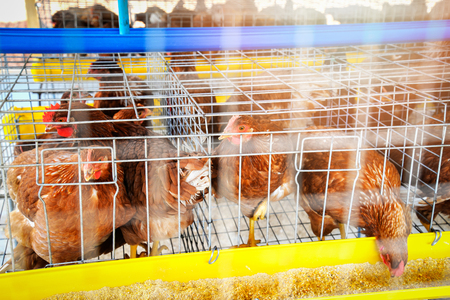 chicken farm / chicken feeding in cage on indoors chicken farming product for egg