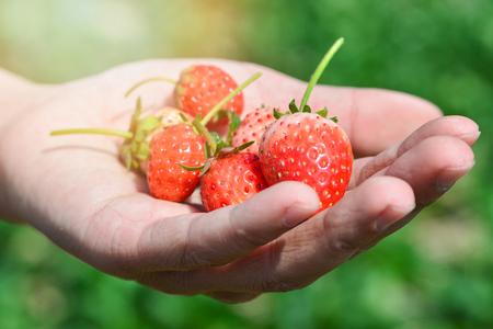 Hand picking strawberries - fresh strawberry from farm / Strawberry harvest in hand red ripe strawberries fruit in organic garden background