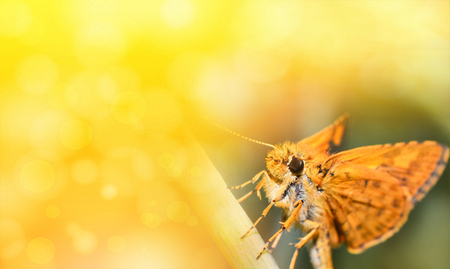 Nature yellow background / Abstract blur summer bright day with insect butterfly orange on plant beautiful nature yellow background