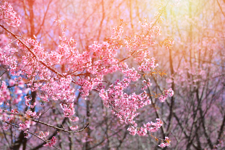wild himalayan cherry blooming / pink tree of cherry blossom or sakura flower - wild himalayan cherry blooming on hill in winter at Phu Lom Lo Loei and Phitsanulok of Thailand