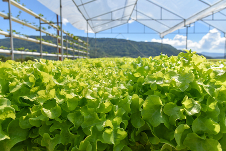 Vegetable hydroponic system / young and fresh vegetable Green oak lettuce salad growing garden hydroponic farm salad on water without soil agriculture in the green house organic plants for health food Imagens