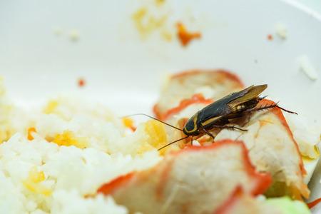 comida sucia / cucarachas que comen comida de arroz que viven en la cocina de la casa / cerca de cucarachas en un tazón comida de bacterias contaminantes Foto de archivo