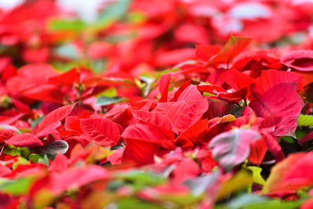 Beautiful leaf red background / Poinsettia red flowers blooming in the garden or Christmas star flowers plant (Euphorbia pulcherrima)