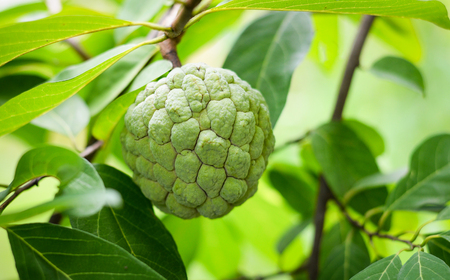 Sugar apple tropical fruit on tree in the garden - custard apple on plant tree nature green background