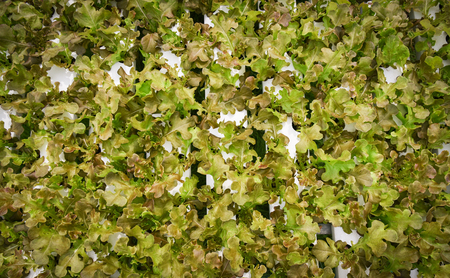Vegetable hydroponic system / young and fresh vegetable red oak lettuce salad growing garden hydroponic farm salad on water without soil agriculture in the greenhouse organic plants for health food