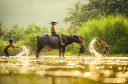Asia children on river buffalo / The boys friend happy funny playing water and animal buffalo water on river with palm tree tropical background in the countryside of living life kids farmer asian