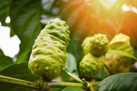 Noni-Fruchtkräutermedizin / frisches Noni am Baum Andere Namen Great Morinda, Strandmaulbeere Standard-Bild