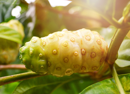 Noni fruit herbal medicines  fresh noni on tree - Other names Great morinda, Beach mulberry