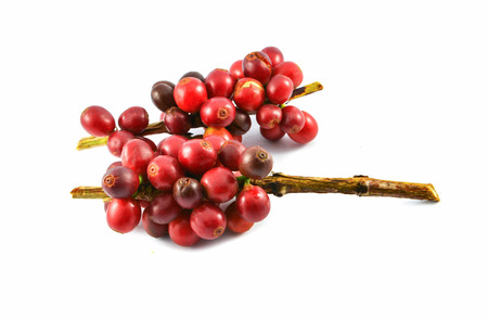 Fresh red coffee beans isolated on white background / Harvest arabica coffee berries from agriculture farm