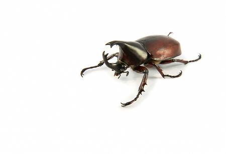 Rhinoceros Beetle isolated on white / Dynastinae beetle