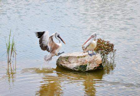Spot billed pelican birds in the nature river - Pelecanidae Pelecanus philippensis