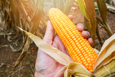 Ripe corn on hand farmer harvest in corn field product of agriculture asia Stockfoto