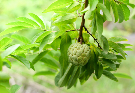 Fresh sugar apple on tree in the garden tropical fruit custard apple on nature green background / Annona sweetsop